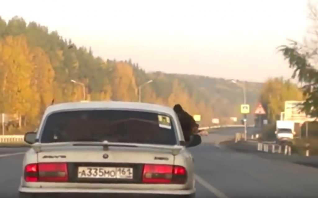 Медведь, катающийся на «Волге» по России, покорил зрителей YouTube