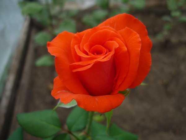 Брянщина отказалась от украинских роз