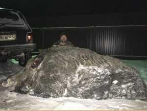 Охотник застрелил кабана-великана весом в полтонны