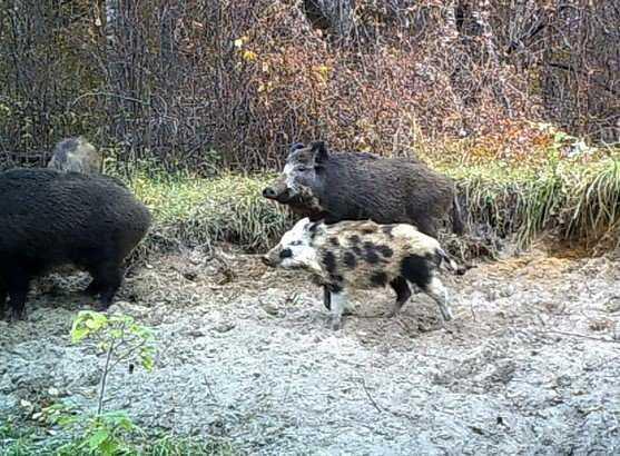 В ловушку «Брянского леса» попался пятнистый кабан
