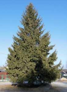 Брянцам предложили выбрать главную новогоднюю елку