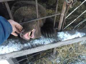 Отважный мужчина приручил злую медведицу