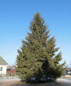 В Брянске новогоднюю главную елку установят 15 декабря