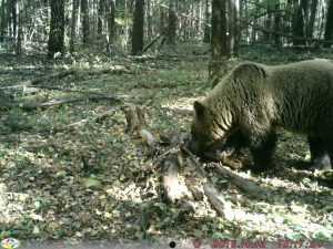 По брянскому лесу бродит Арсений и еще 12 медведей
