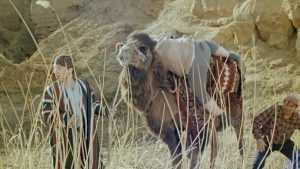 Верблюд Васька попал в аварию