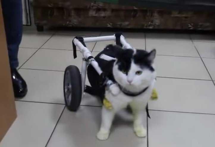 Брянскому коту подарили инвалидную коляску