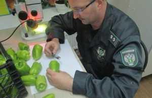 Брянские инспекторы вернули туркам зараженный перец