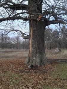 В Брянске распространили легенду о гибели «тысячелетнего» дуба