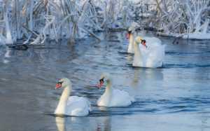 «Брянский лес» сосчитает водоплавающих птиц