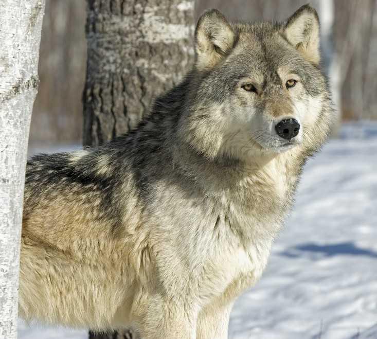 Мясо волков на прилавки брянских магазинов не попало