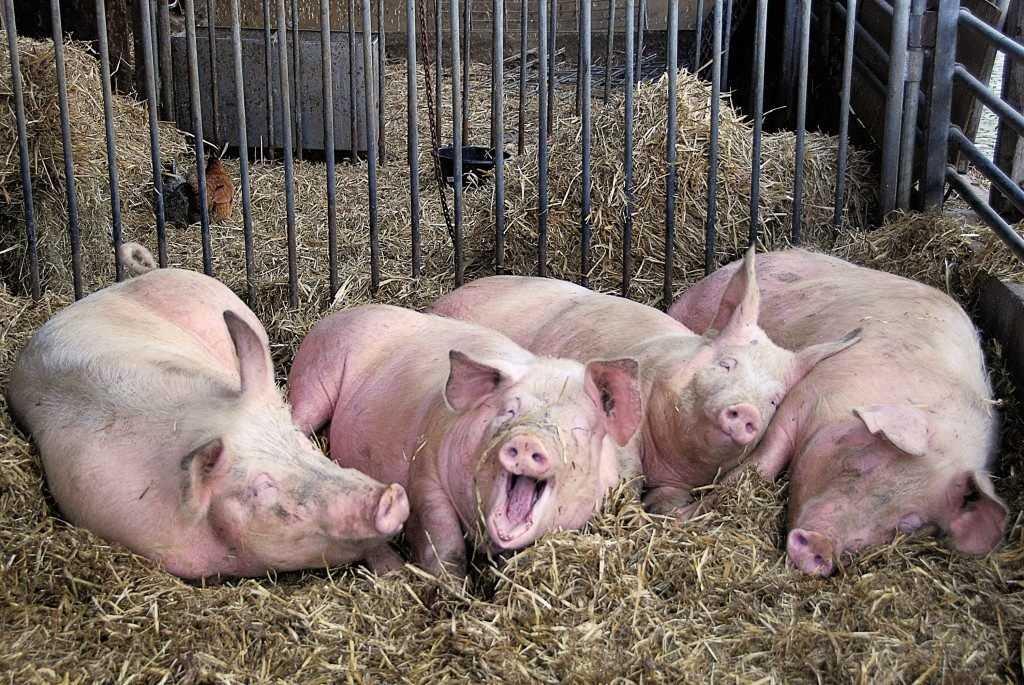 В Брянскую область пришёл «свиной грипп»