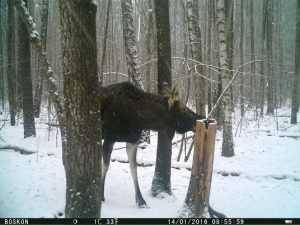 Солонец в «Брянском лесу» стал местом паломничества зверей
