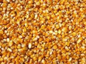 Безродная кукуруза не понравилась брянским специалистам