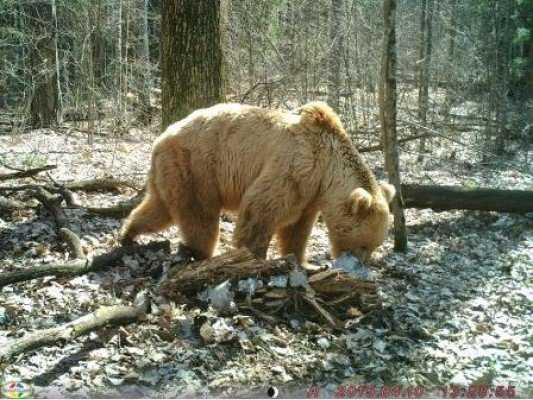 Фильм о брянских медведях претендует на победу в конкурсе «Диво России»