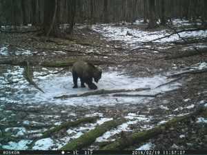 В брянском заповеднике обнаружили игривого медведя