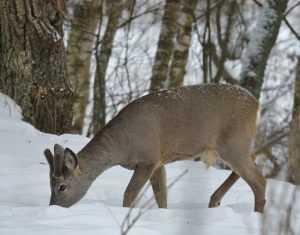 В «Брянском лесу» уникальные фото зверей добывают «невидимки»
