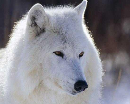 Мужчина голыми руками поймал кинувшегося на него волка