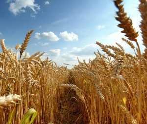 Россия стала мировым лидером по экспорту пшеницы