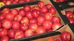 Брянщину защитили от запрещённых польских яблок