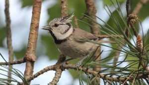 В «Брянском лесу» впервые обнаружили гнездо хохлатой синицы