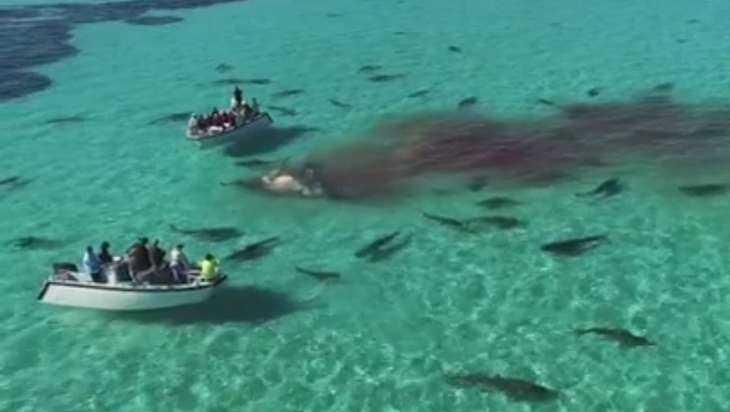 Семьдесят акул растерзали кита