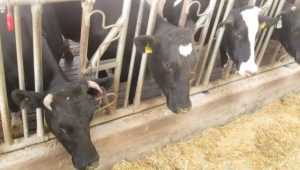 Тульский покупатель коров погорел на попытке подкупа брянского фермера
