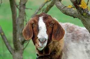 Брянцы сменили коров на коз