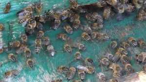 Из брянского ТРЦ Тимошковых выпроводили рой пчел