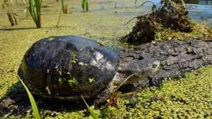 «Брянский лес» приютил редкую черепаху