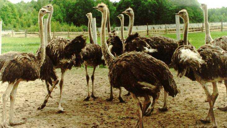 Брянских страусов посчитают