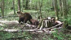 Брянский лес пополнился семью медвежатами