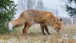 Бешеная лиса забралась к брянцу в гости
