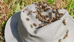 Брянские пчелы убили пьяницу, пытавшегося похитить мед