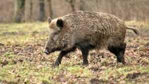 Брянским охотникам разрешили отстрел диких свиней