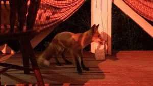 Незваная лиса заглянула в брянское кафе