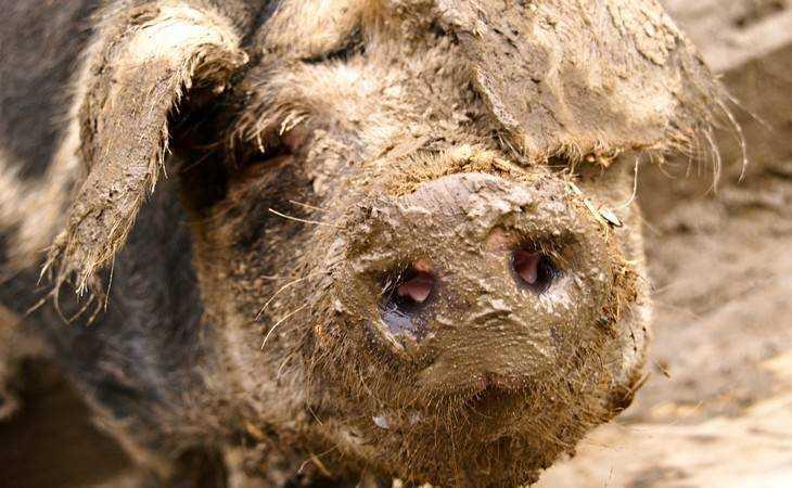 Под Брянском обнаружили очаг африканской чумы свиней