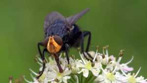 «Мясные» мухи отправились из брянского леса в Москву