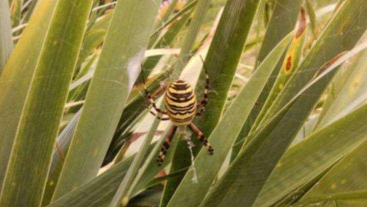 Брянцев напугали ядовитыми пауками