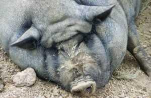 Европейские свиньи останутся конкурентами брянских хрюшек