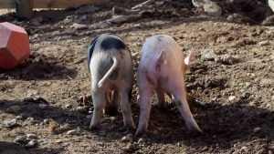 Брянских чиновников заставили пересчитать свиней