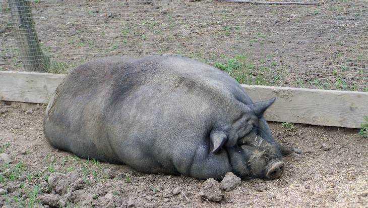 Вице-премьер России Аркадий Дворкович призвал истребить брянских свиней