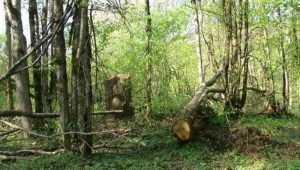 Брянцы попались на незаконной вырубке 15 дубов