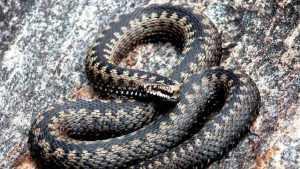 Жительницу Брянска укусила змея