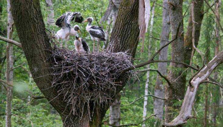 Учёный выяснил причину нежелания аиста селиться в брянских лесах