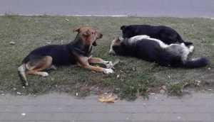 Бродячие собаки довели брянцев до пикета