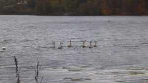 Озеро под Брянском облюбовали лебеди