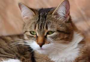 В Брянске пройдет международная выставка кошек