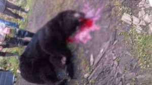 В Бежецком районе медведь растерзал охотников