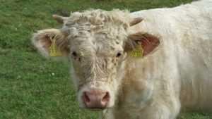Руководитель брянской фермы ответит за гибель пастуха