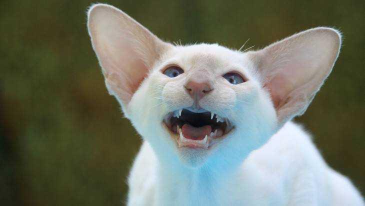 На брянца напала бешеная кошка